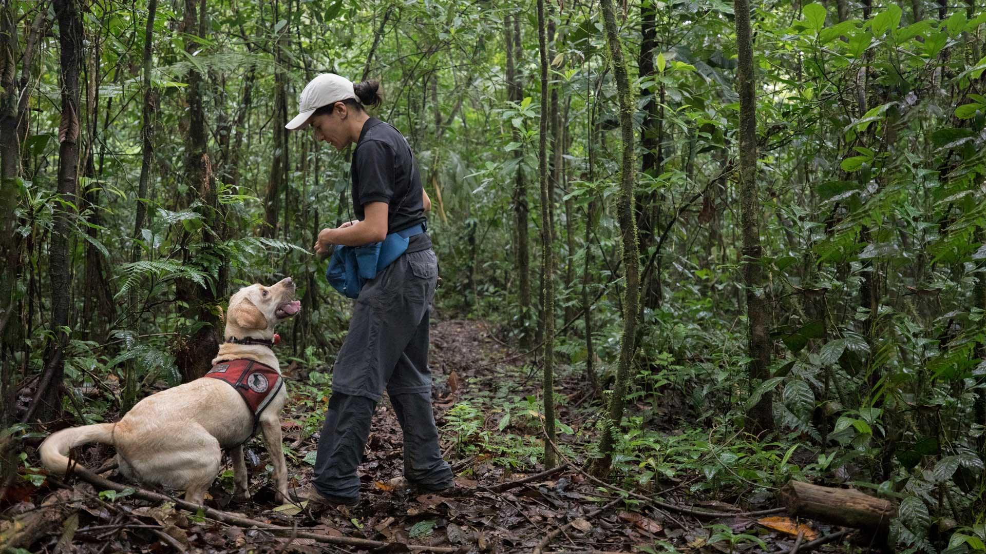 Stephanny Arroyo Arce is the handler for Tigre, a Labrador Retriever who is being trained to detect the feces of jaguars.