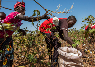 Sowing Seeds of a Bright Future For Burkinabe Cotton Farmers