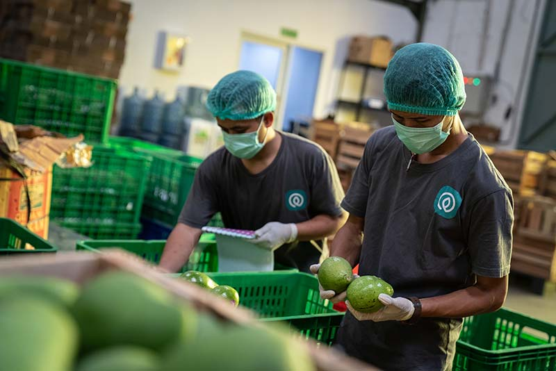TaniHub employees packaging avocados follow safety standards.