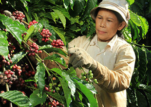 Thumbnail:Helping Smallholder Farmers Grow Coffee Sustainably