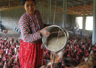Feeding a Stronger Poultry Sector in Nepal