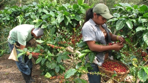 Coffee - Local Farms, Global Markets: ECOM in Central America