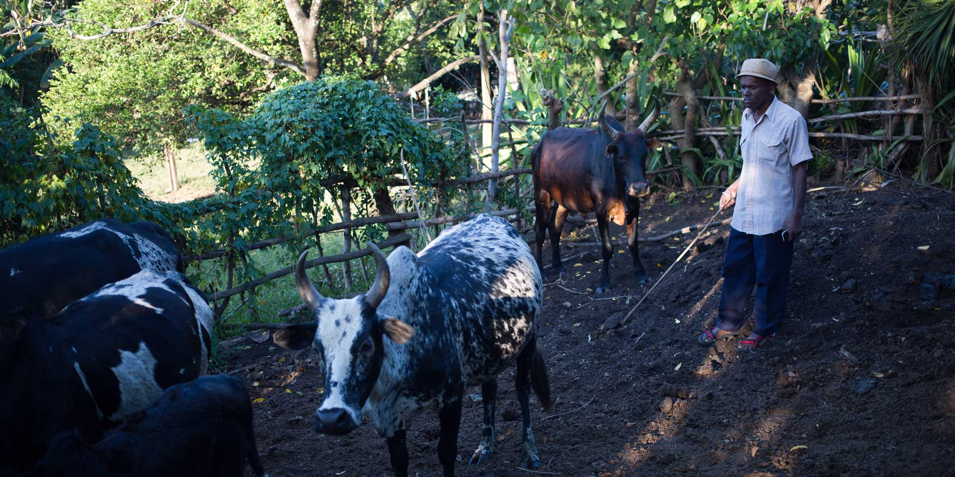 Madagascar Beefs Up Zebu Export Business