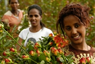 Thumbnail:Coming up Roses in Ethiopia