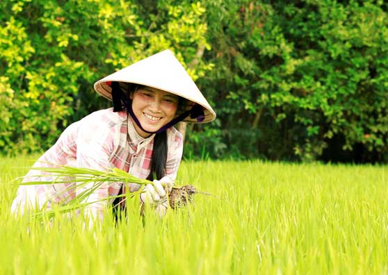 Cultivating Rice—and Sustainable Farming Practices—in Vietnam